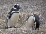 magellenic penguins,valdez peninsula,argentina