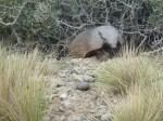 armadillo,valdez peninsula,argentina