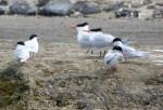 arctic terns,ushuaia,argentina,patagonia