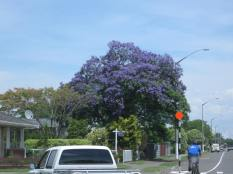 jacaranda tree,hastings new zealand