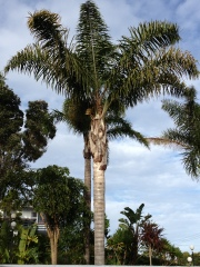 Palm Tree Paihaia