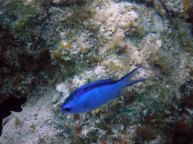 Blue Chromis on lighthouse reef belize