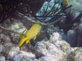 Yellow grunt at half moon caye
