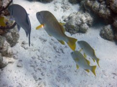 Grunts are very common on the reef!