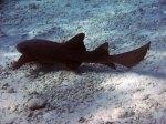 nurse shark half moon caye belize, lighthouse reef,snorkeling belize