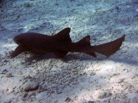 Nurse shark seen while snorkeling lighthouse reef belize