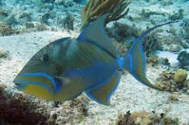 Queen Triggerfish at half moon caye