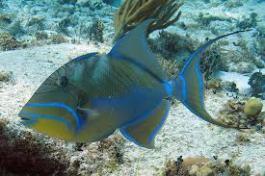 Queen Triggerfish at half moon caye