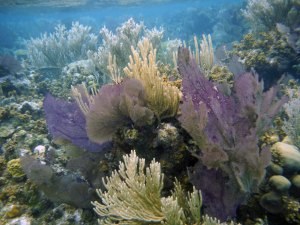 colorful sea fans at the great blue hole