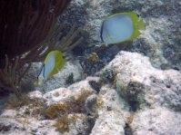 Spotfin butterflyfish snorkeling belize