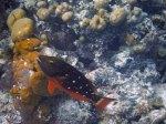 stoplight parrotfish at great blue hole belize