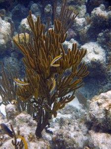 Wrasse living near a sea fan blue hole belize