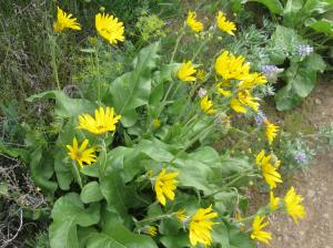 balsamrood,columbia river gorge,cherry orchard trail,lyle,hiking