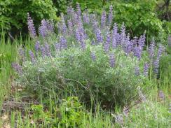 lupine,columbia river gorge,hiking,lyle,cherry orchard trail
