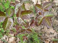 poison oak,columbia gorge,lyle washington,cherry orchard trail, hiking,