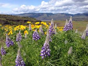 rowena crest,mosier,columbia gorge,hiking,wildflowers,lupine,balsamrot,columbia river highway