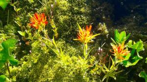 Russell Lake Indian Paintbrush