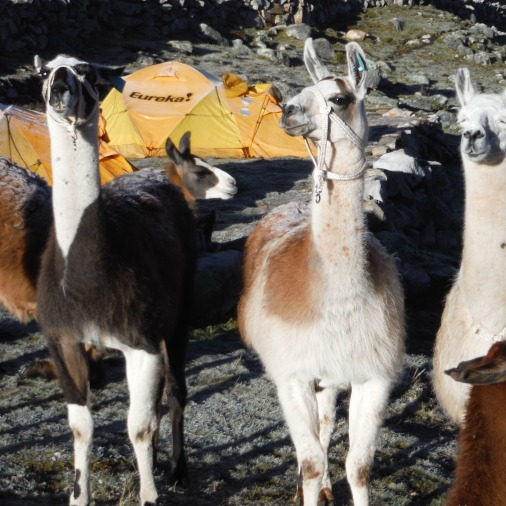 Llamas don't seem to mind the frost on their backs!