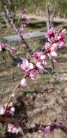 Midelt Cherry Blossoms resized