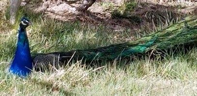 Midelt Peacock resized