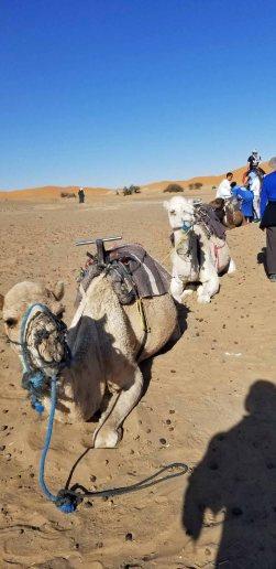 Camels Waiting resized
